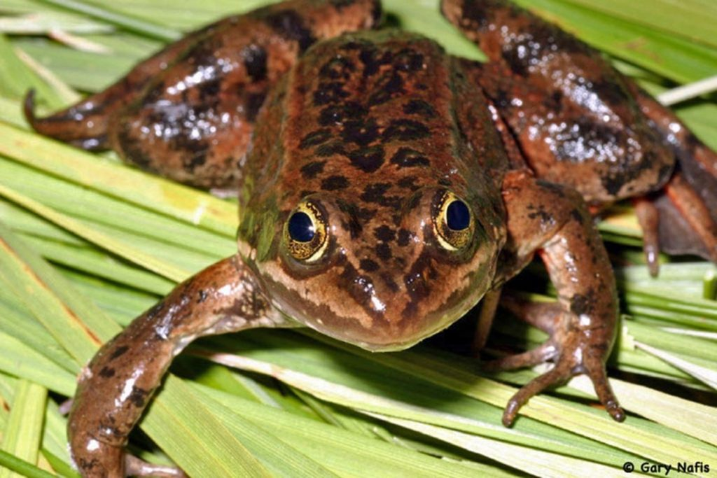 Settlement Agreement in Oregon Spotted Frog Lawsuit